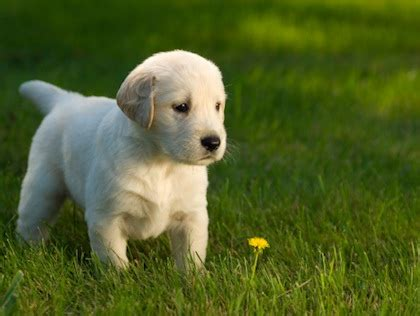 labrador puppies houston top labrador retriever breeders lab puppies for sale travel advisor breeds picture