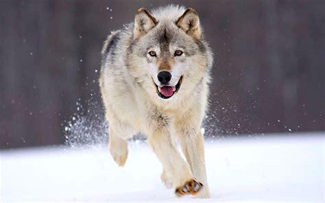 google images wolf running wolf 1920x1200 jpg 1920 215 1200 3 little pigs