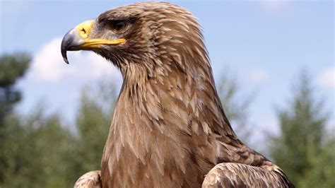 best eagle outstanding golden eagle hd photos all hd wallpapers