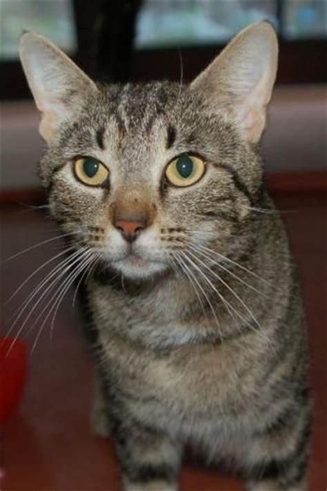 grey breeds grey tiger cat breed