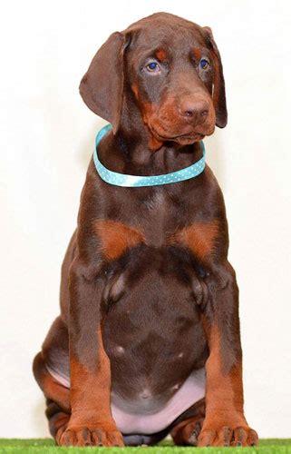doberman puppies for sale in tn european doberman puppies for sale in usa dobies
