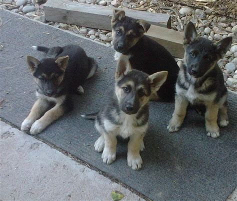 shepherd mix puppies german shepherd husky mix information pictures and