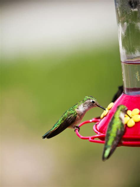 best 28 hummingbird nectar 17 best ideas about recipe