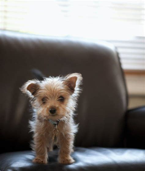 yorkie puppy facts 10 cool facts about terriers dogs tips advice me yorkies