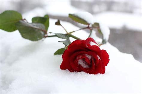 rosa d inverno fiore le in inverno rosa piante da giardino rosa