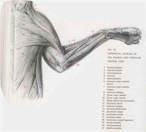 cat neck muscles diagram cat muscles lab guide