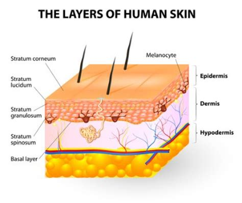 diagram of skin understand how the skin layers work for repair