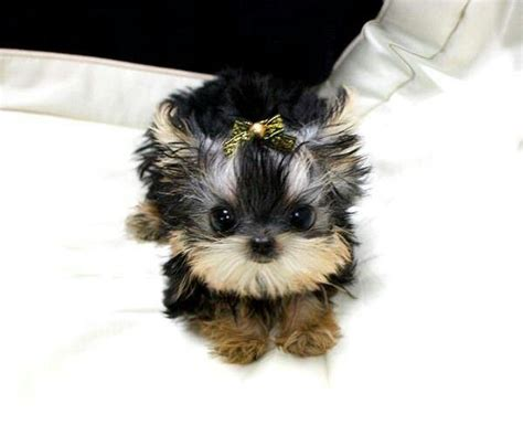 where can i find a teacup yorkie 17 best ideas about teacup yorkie on mini yorkie yorkie puppies and