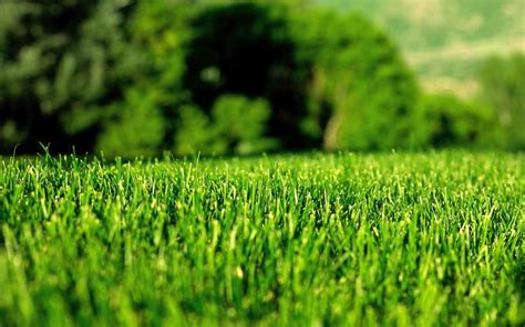 erba per giardino erba per giardino prato curare il prato