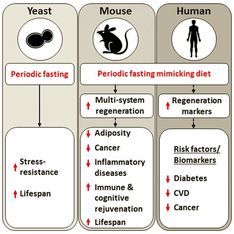 fasting diet diet that mimics fasting appears to aging
