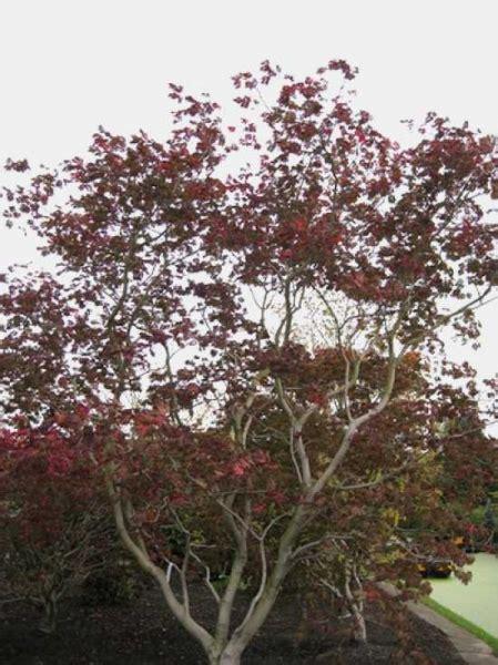 Bambus Als Heckenpflanze 834 by Acer Japonicum Aconitifolium Eisenhutbl 228 Ttriger Ahorn