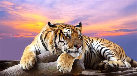 Wallpaper Collection by Awesome Royal Filled Hd Tiger Wallpapers Picked