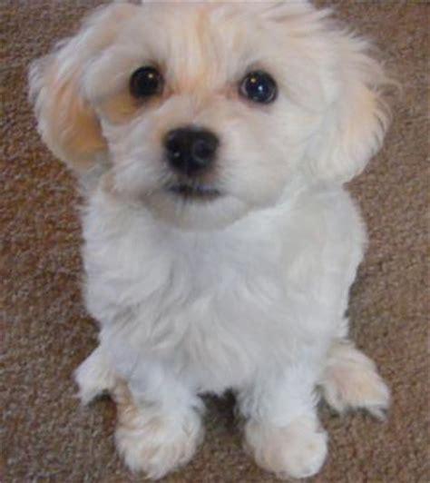 maltese bichon puppies for sale pin caine bichon maltese de vanzare constanta caini on