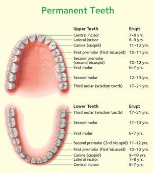 ages when baby teeth come in and fall out baby baby teeth seasons of smiles dental arthur norman