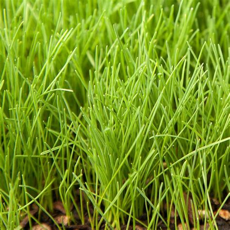 creeping red fescue seed lb