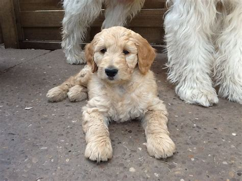 goldendoodle puppy uk handsome f1 pup doncaster south