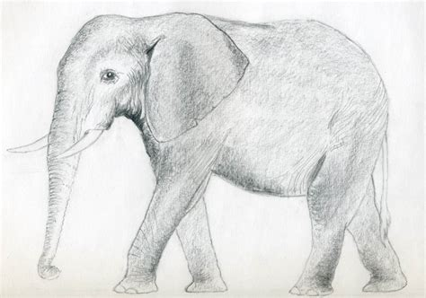 Drawing Elephant by How To Draw An Elephant