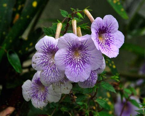 gardensonline achimenes longiflora