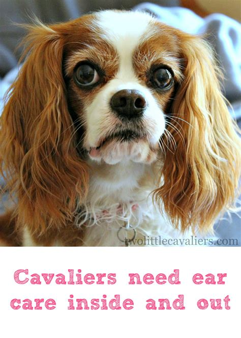 floppy ear short hair dog cavaliers need ear care inside out bayerexpertcare