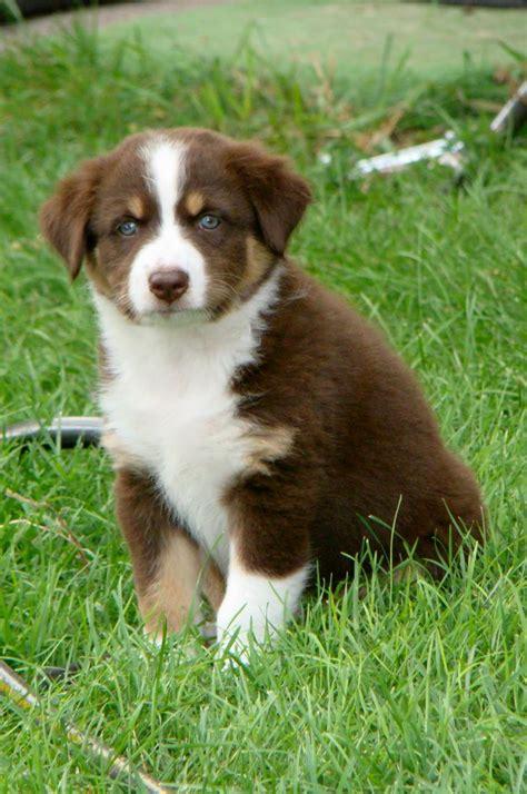 tri australian shepherd puppy tri aussie puppy puppies puppy