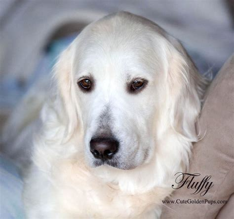 white golden retriever breeders california 433 best images about only goldens on the golden and doggies