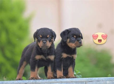 buy a rottweiler 13 reasons not to get a rottweiler