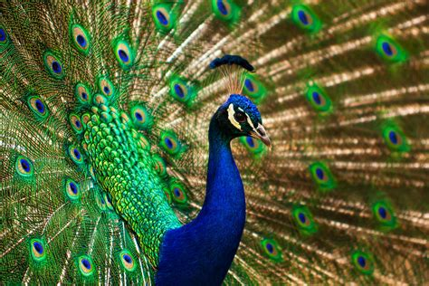 colorful peacock photograph by matt dobson