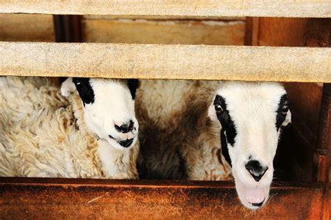 Bibit Domba berwisata sambil melihat domba garut yang perkasa