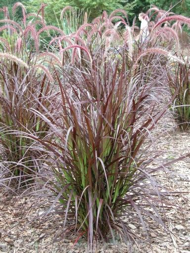 rotes gras drought tolerant plant nursery gardening supplies and
