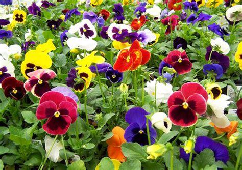 imagenes de flores llamadas pensamientos imagenes de flores llamadas pensamientos imagenesbellas