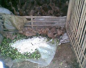 Ternak Bebek Dengan Pakan Fermentasi pakan alternatif bebek bachtiar liem center
