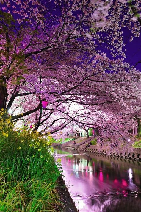 cherry blossom festival cherry blossom trees archives stellar interior design