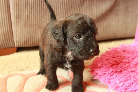 jackapoo puppies for sale jackapoo puppies for sale wellingborough northtonshire pets4homes