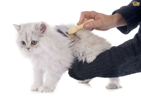 how to to be a groomer how to groom a haired cat pets4homes