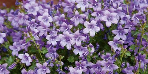 fiori per aiuole invernali fiori invernali per aiuole foto verbena pianta giardino