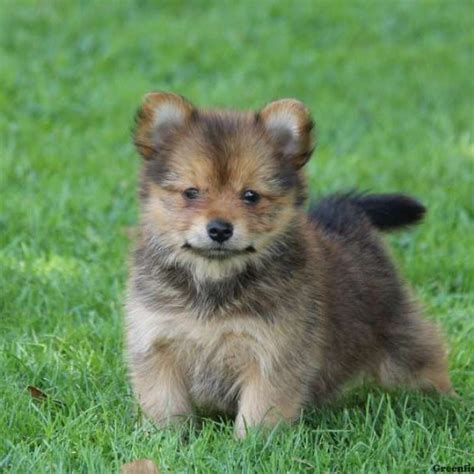 yorkie pomeranian puppies yorkie pom puppies for sale greenfield puppies