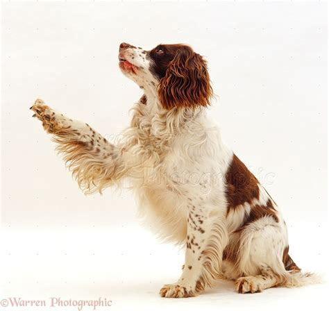 giving puppy springer spaniel giving paw photo wp24481