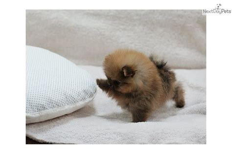 micro mini puppies micro mini pomeranian puppies for sale zoe fans baby animals