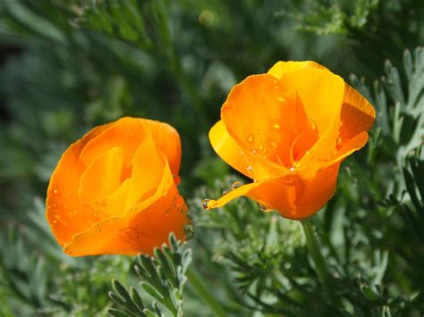 state flowers california state flower pictures www pixshark com