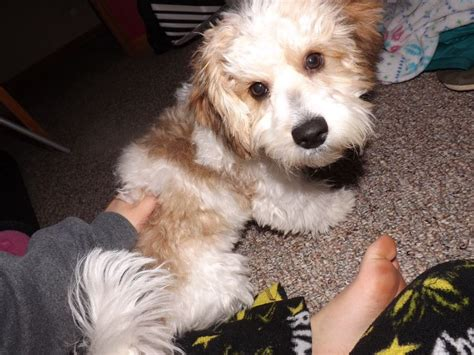 yorkie bichon mix size 17 best images about terriers and poodles like dogs on poodles