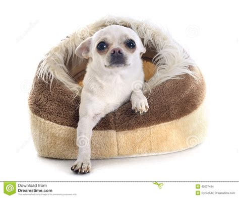 chihuahua beds chihuahua in dog bed stock photo image 42007484