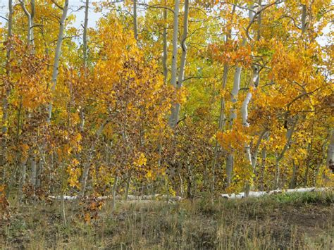 co horts the mid summer leaf drop blues co horts aspen cottonwood leaf diseases not lethal to trees but could impact fall colors