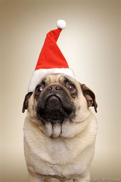 pug with hat pug wearing santa hat
