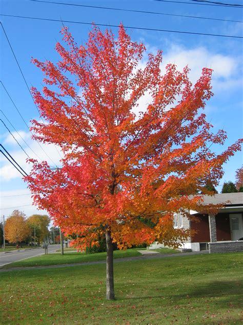 maple tree history file canadian maple jpg wikimedia commons
