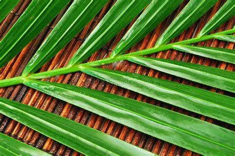 foto bagnate foglie di palma bagnate fotografia stock immagine di