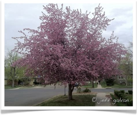 crabapple tree boulder tree care pruning tree removal services