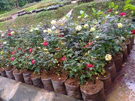 Tempat Jual Bibit Bunga jenis bunga hias dari tanaman dataran rendah