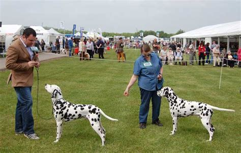 hebe res casey british dalmatian club southern counties 2013