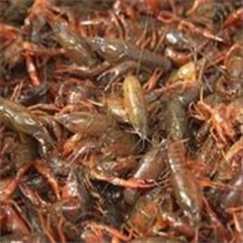 backyard crawfish farming 1000 images about shrimp crawfish farming on pinterest