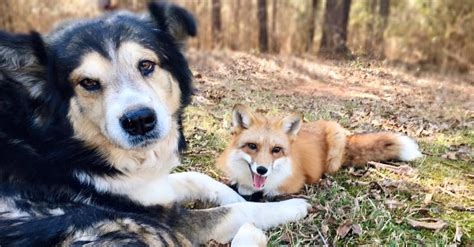 Fox Sneaks Up Next To A Large Dog. But No One Saw THIS